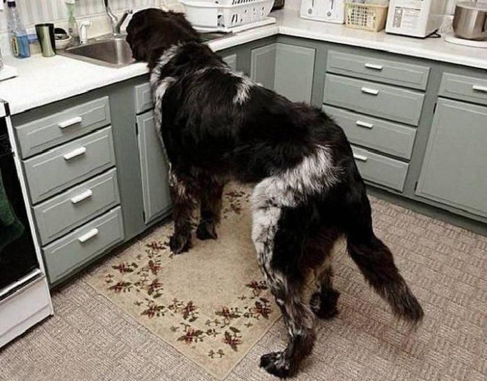 Собака в квартире - тяготы и радости