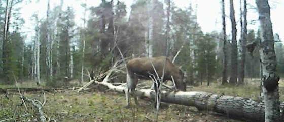 В поисках лося и боровой дичи