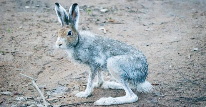 Заяц-беляк: биология вида