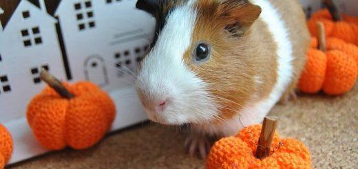 Признаки здоровой морской свинки