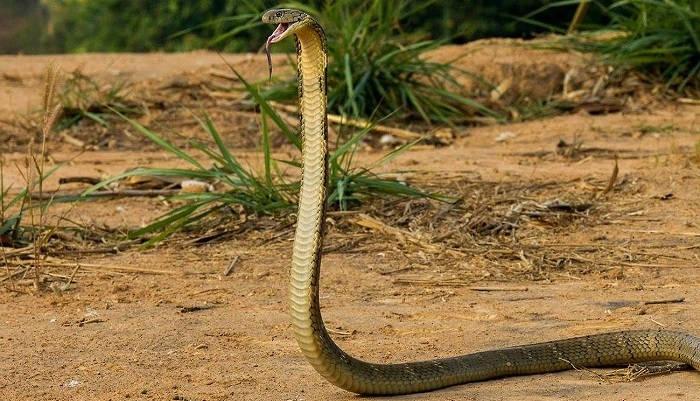 Ядовитые змеи Таиланда