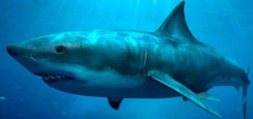 Почему акулы плавают быстрее остальных рыб
