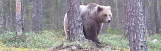 Дикий медведь в Оленегорске