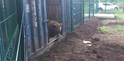 Вывели медведя искупаться