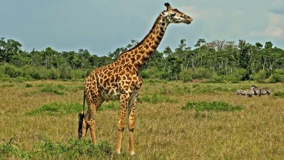 Этот загадочный жираф