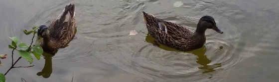 Как ловить диких уток