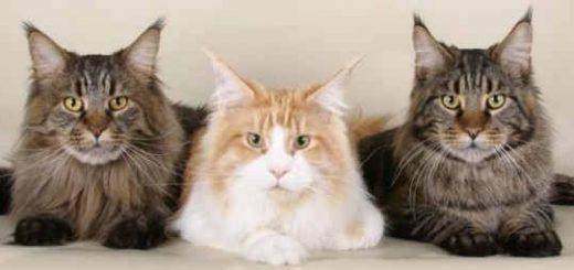 Кошачьи породы