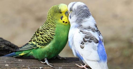 Чем можно кормить волнистого попугая?