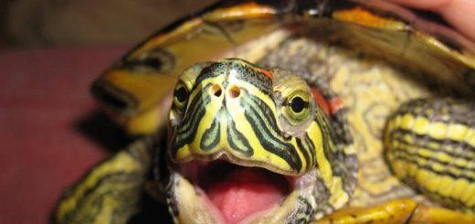 Представление о красноухих черепахах