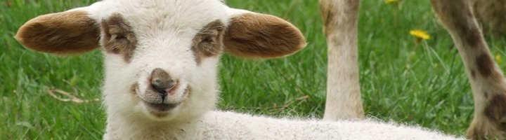 Мастит у овец: как лечить