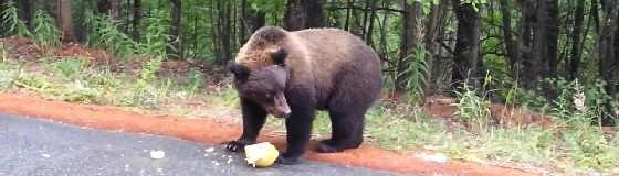 Дикий медведь вышел на дорогу