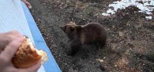 Медведь пришел на месторождение