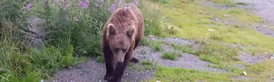 Медведи в Мурманске