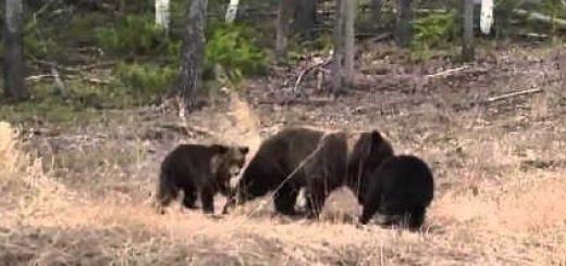 Встреча с медведицей с медвежатами