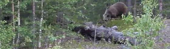 Медведи в лесу по дороге на Умбу