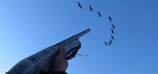 Охота на селезней и гусей