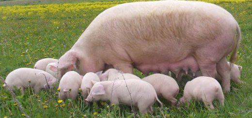 Скороспелые породы свиней