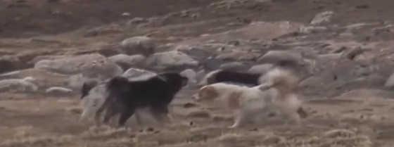 Волк не отдал свою добычу собакам