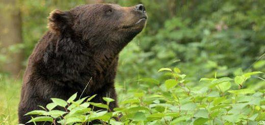 Дедовский способ защиты от медведя!