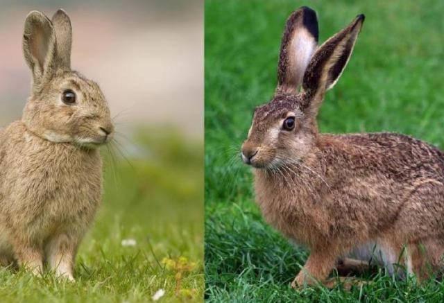 Чем зайцы отличаются от кроликов?