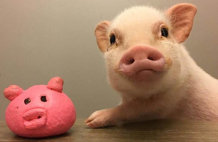 Содержание карликовых свинок