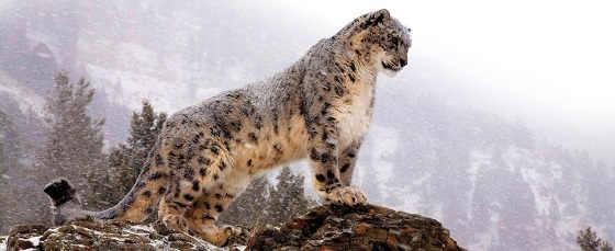 Охота снежного барса в горах