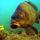 Подводная съемка ловли карпа