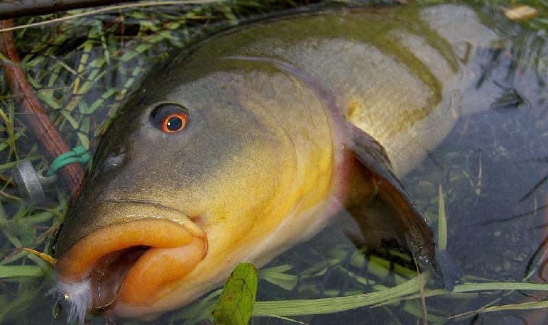 Как ловят рыбу линь