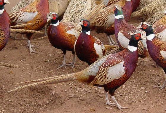 Разведение фазанов и их породы
