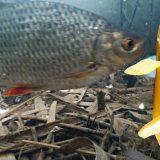 Реакция рыбы на банан