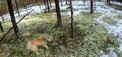 Весенняя охота на медведя с собаками