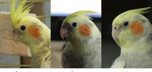 Определение возраста попугая