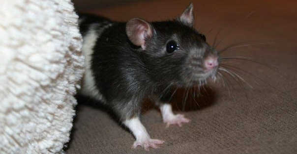 Заводим декоративную крысу
