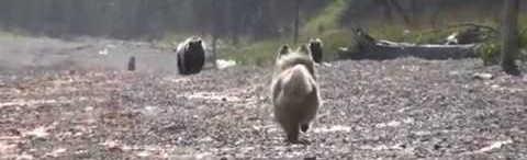 четыре медведя попали на двух собак