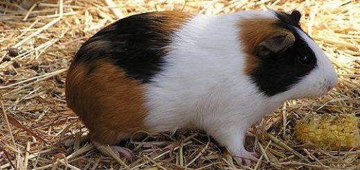 Морские свинки: породы