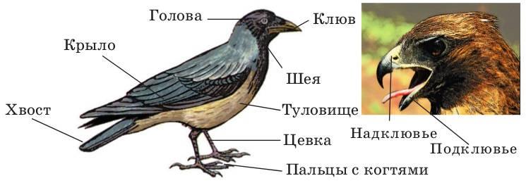 Анатомия птиц