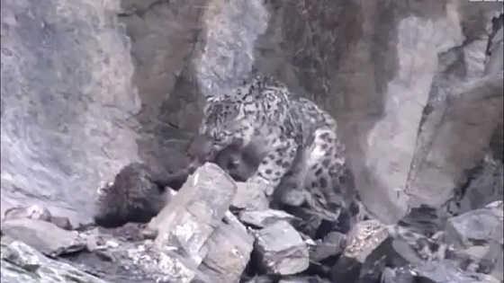 Снежный Барс: В пропасть за добычей