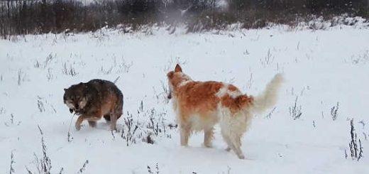 Борзая и ручной волк