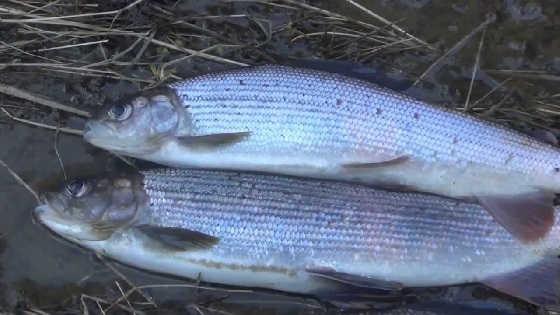 Рыбалка на ХАРИУСА в июне
