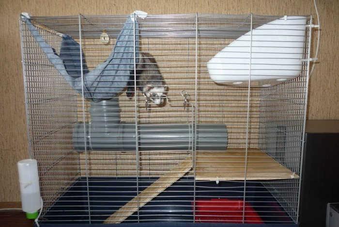 Как содержать в квартире хорька?