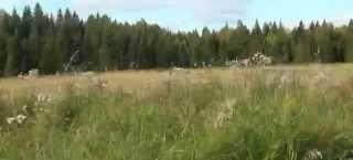 Охота на медведя на овсах с копны сена