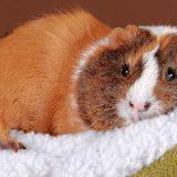 Уход за морскими свинками: владельцу на заметку