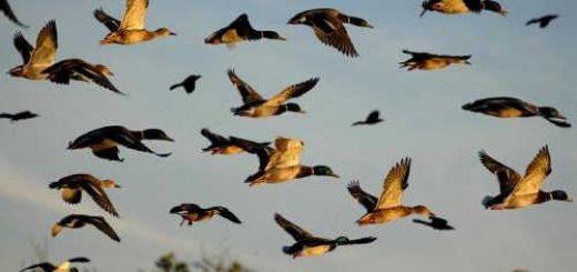 Какое делать упреждение при стрельбе утки на охоте?