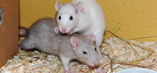 Крысы: содержание, уход