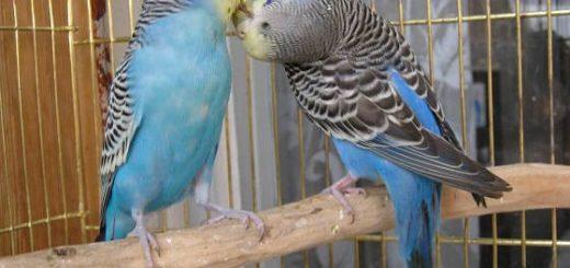 Как научить попугая разговаривать для ребенка