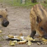 Свинья породы мангал