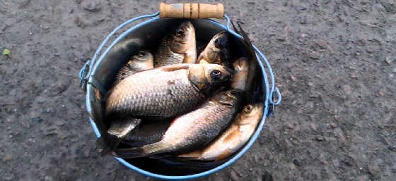 Ведро рыбы наловил