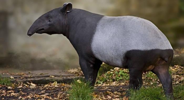 Азиатский тапир