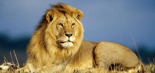 Способы охоты на льва в Африке