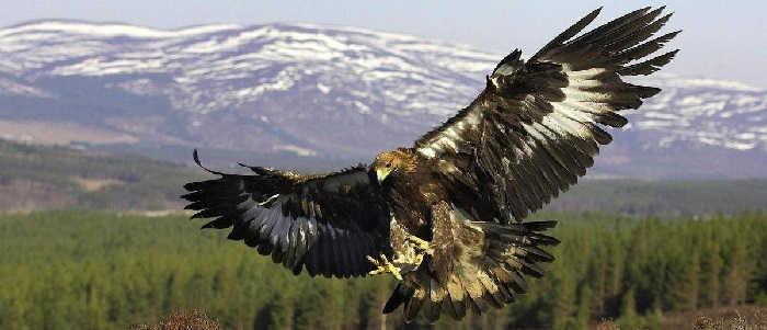 Птица орел – беркут